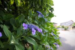 流行りに乗っかって、紫陽花を撮ってみました 1