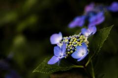 流行りに乗っかって、紫陽花を撮ってみました 4