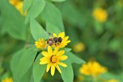 黄花とハナアブ