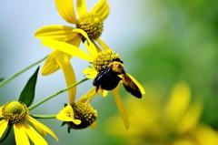 モネのクマバチ