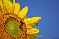 青空と向日葵と蜜蜂