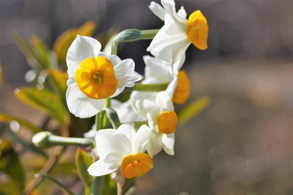 可愛い花 水仙