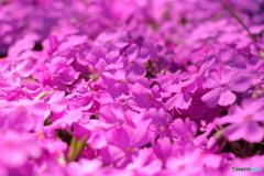 芝桜 色豊か