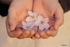 桜 in my son