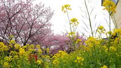 2017年2月河津桜祭り_5