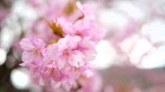2017年2月河津桜祭り_9