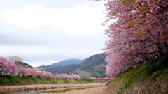 2017年2月河津桜祭り_8