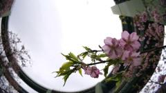 2017年2月河津桜祭り_4