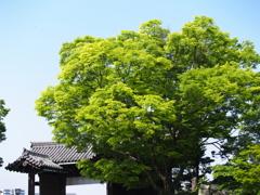 姫路城 新緑2