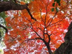 樹(紅葉)の下