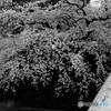 団栗橋の桜