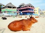 牛耳る~インド Cow Heaven
