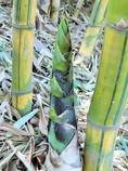 青い筍~インド Indian bamboo shoot