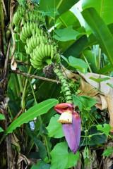 バナナの花~インドネシア Banana Blossom