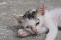 哀しい現実~インドネシア Debilitated Stray Kitten