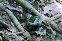 毒蛇はどこじゃ~インドネシア Venomous snake