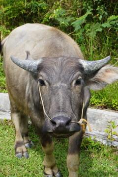 我にな近づきそ!~インドネシア Young Water Buffalo