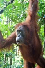 オランウータンの森~インドネシア Orangutan,Sumatra