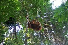 森に帰るオランウータン~インドネシア Orangutan,Sumatra