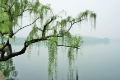 西湖的緑柳~中国 Weeping willow