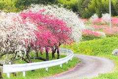 春色カーブ