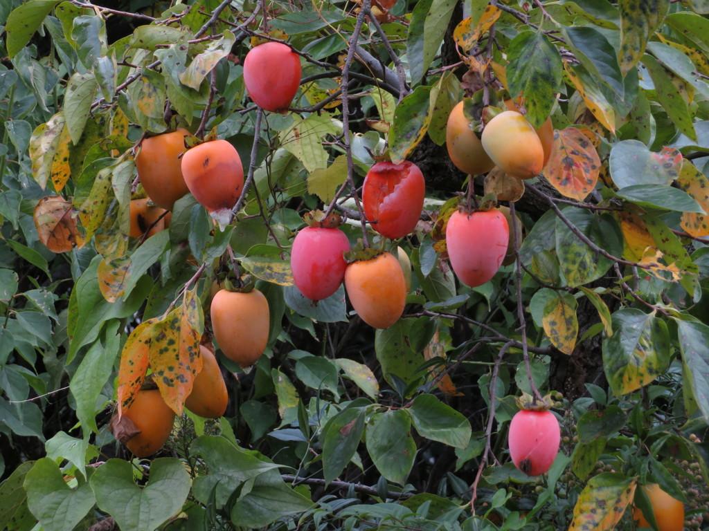 鳥専用の柿