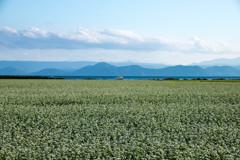 湖とソバ畑