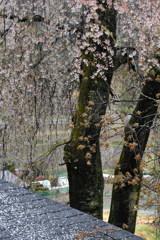 勝間薬師の枝垂桜