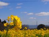 信貴山 菜の花