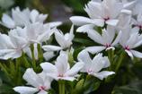 八重咲き ニチニチソウ
