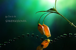 sandersonia