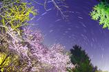 夜桜シンフォニー