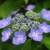 最後の紫陽花