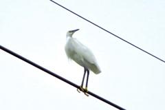 電線に留まる白鷺
