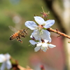 不断桜とミツバチ