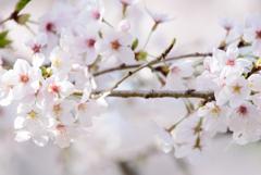 内房 桜3