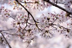 内房 桜1