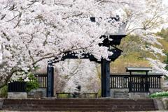 2018春 西山本門寺桜