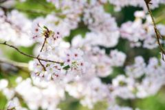 内房 桜2