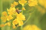 ミツバチと菜の花(^^♪