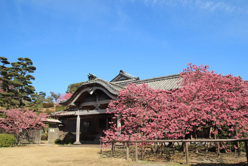 緋寒桜と鍋島邸(^^)/
