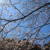 桜を見上げる(^^)/