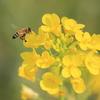 菜の花と蜜蜂(^^)/