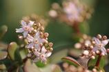 金のなる木の花が咲きました(^_^)v