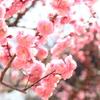 ピンクの春(^^♪