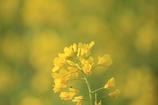 菜の花(^^♪