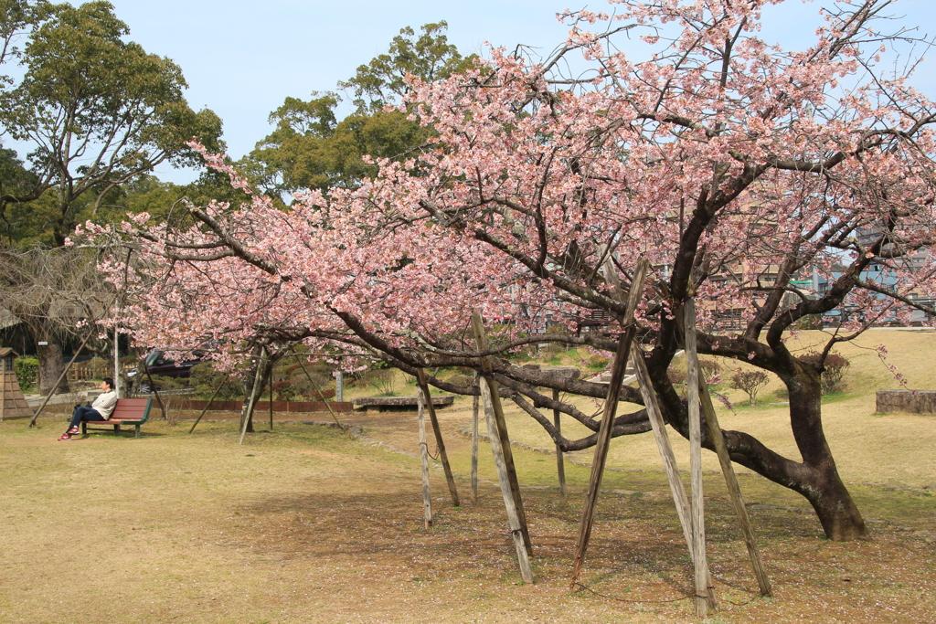 大寒桜のある公園