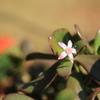 「金のなる木」の花