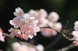 大寒桜(^^)/