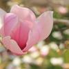 モクレンの花(^^)/